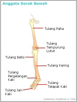 Fungsi Tulang Tempurung Lutut : fungsi, tulang, tempurung, lutut, Struktur, Organ, Tubuh, Manusia, Dengan, Fungsinya,, Serta, Pemeliharaannya., BELAJAR