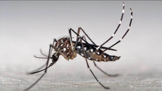 identikit-del-aedes-aegypti--mosquito-transmisor-del-dengue