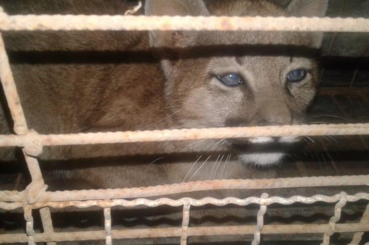 Rescataron a un cachorro de puma en Colonia Caroya 6