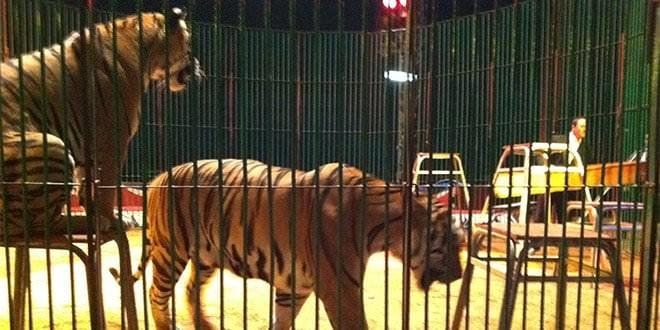 circos itinerantes madrid ayuntamiento tigres