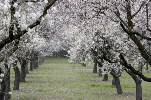 Quinta-De-Los-Molinos almendros flor