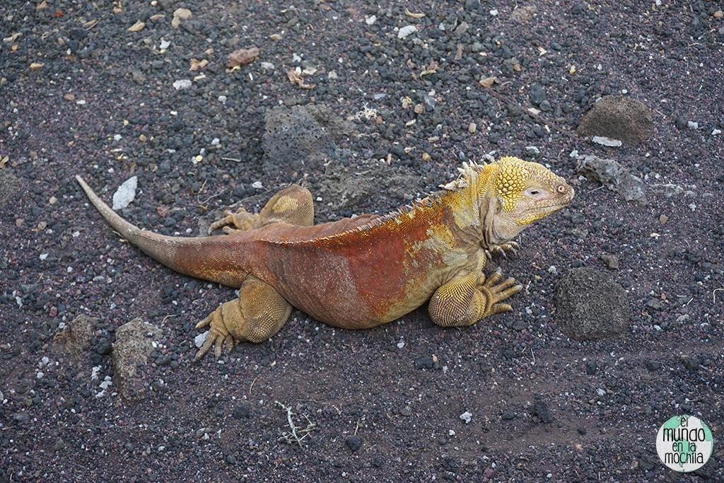 Iguana terrestre amarilla de la Isla de Santa Fe de Galápagos