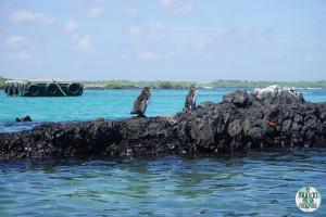Foto de Pingüinos de Galápagos tomando el sol en la Bahía de Puerto Villamil