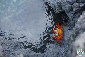 Foto de Zapaya o cangrejo de Galápagos