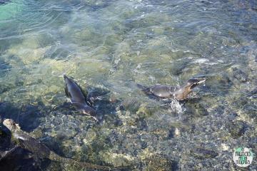 Pingüinos de Galápgos juegan en la orilla