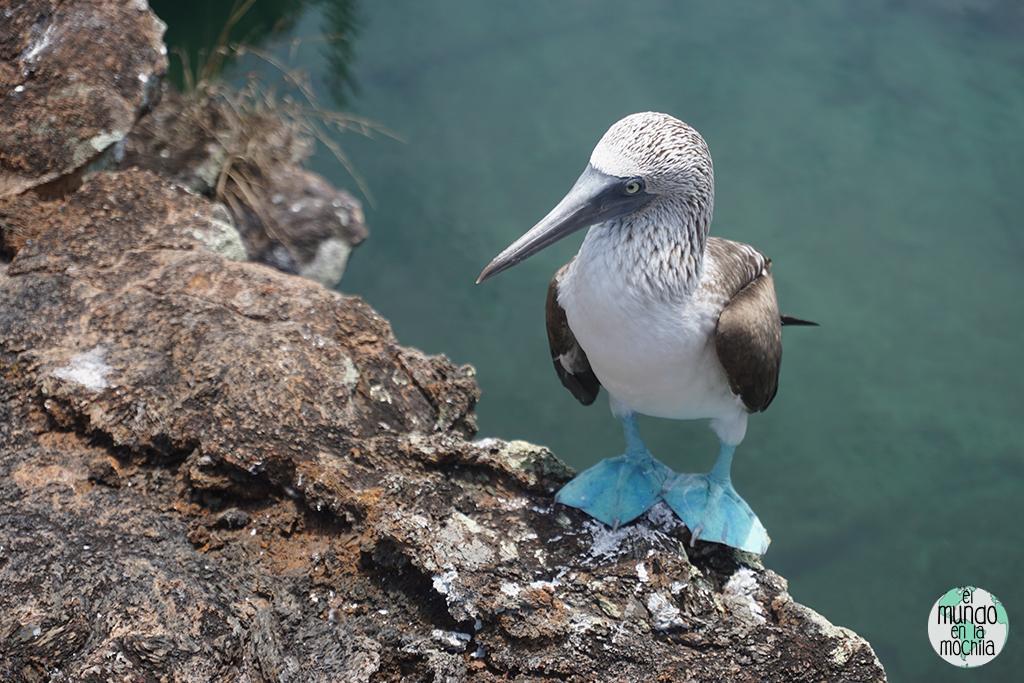 Foto de Piquero de patas azules