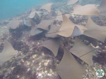 Cardumen de mantas rayas doradas en los Túneles de Isabela