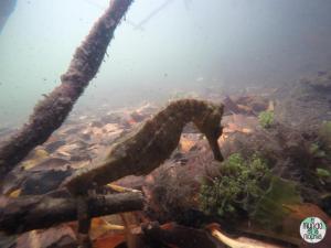 Foto del Caballito de mar de las galápagos