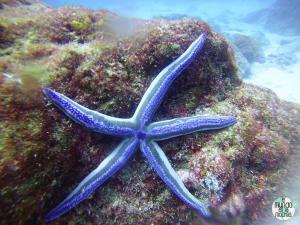 Foto de Estrella de mar azul de Galápagos