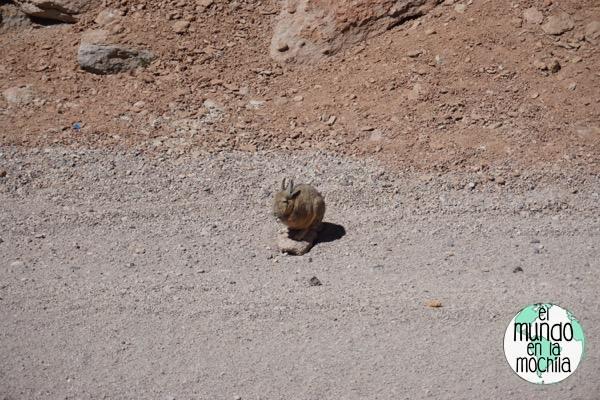 salar de uyuni reserva eduardo avaroa vizcacha conejo roedor