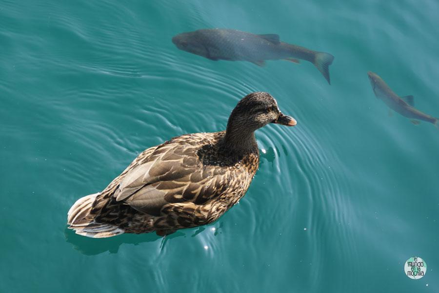 Pato y peces nadando en las aguas turquesas del Plitvice