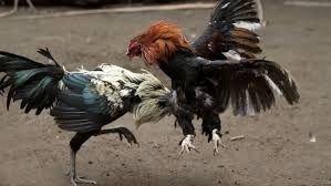 Las antiguas peleas de gallos en la comarca del Noroeste