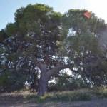 En peligro el pino centenario de la Casa Zapata