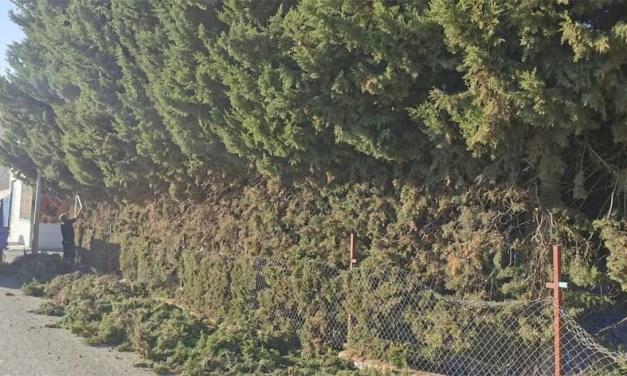 El Ayuntamiento de Cehegín realiza la poda de los cipreses que invadían la acera en la calle San Telesforo