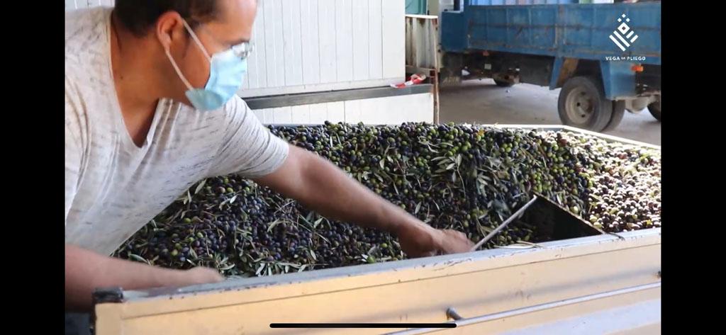 Vega de Pliego finaliza la campaña de oliva con un gran rendimiento y un aceite de excelente calidad