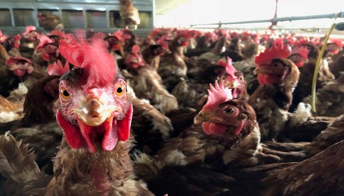 """Huevos Santa Reyes en jaque por el Paro. """"… las aves están muriendo"""": Carlos Lozano, su gerente general."""