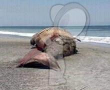 Aparece ballena muerta en playa de Oaxaca