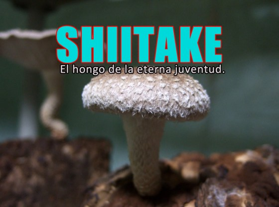 shiitake chino, seta de la eterna juventud.