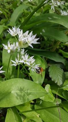 abeille butinant une fleur d'ail des ours
