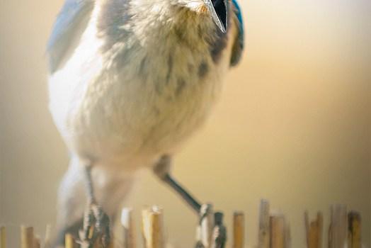 My noisy Scrub Jay