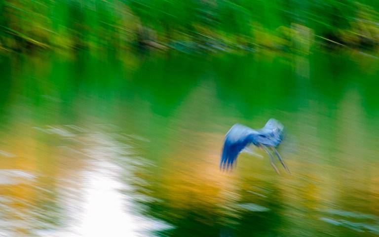 Blue Heron taking flight