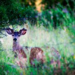 Young deer in the field