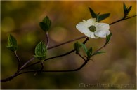 Solitude, Dogwood Bloom Above the Merced River, Yosemite