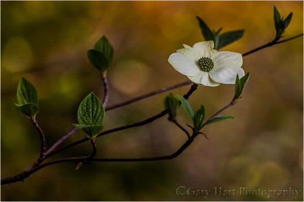Solitude, Dogwood Bloom Above the Merced River, Yosemite