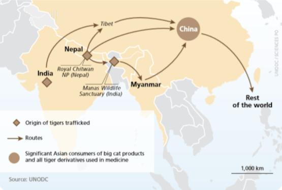 Principales flujos de tráfico de pieles de tigre