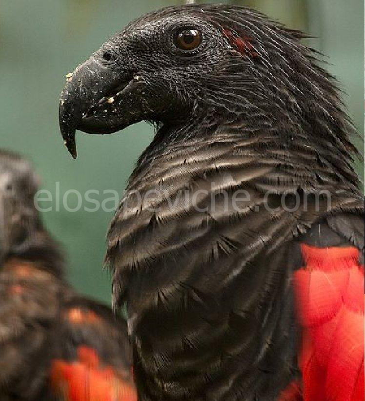 Il pappagallo Dracula: bello e spaventoso