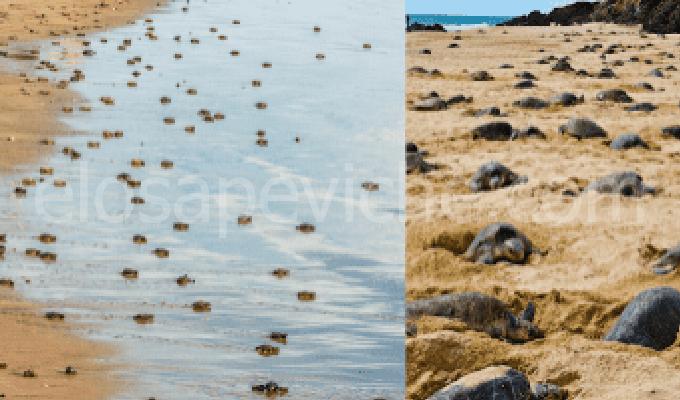 Per la prima volta dopo 7 annile tartarughe depongono le uova sulle spiagge vuote.