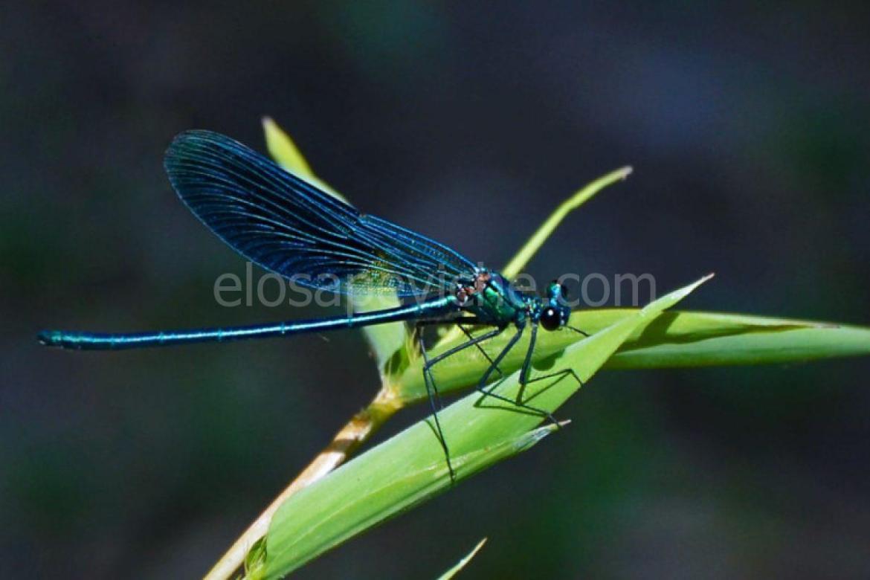 Cosa rappresentano le libellule per ogni segno zodiacale