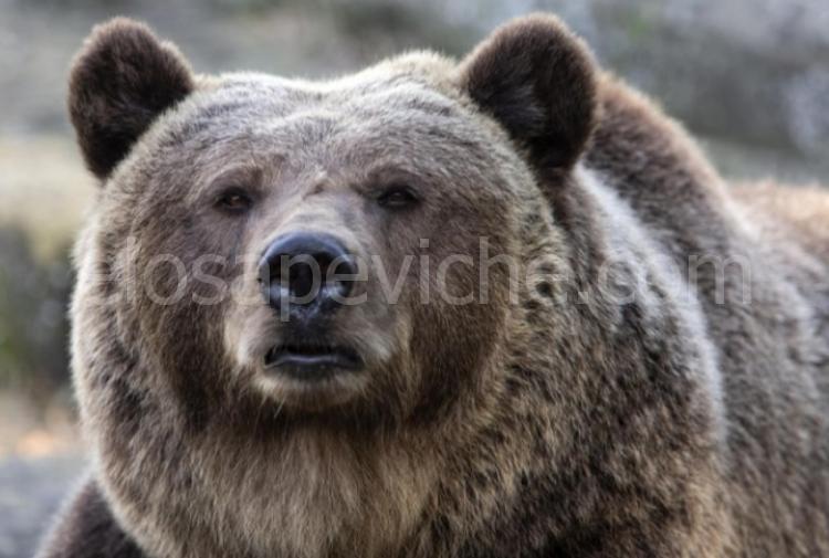 L'orsa Gaia non sarà uccisa: il Tar accoglie il ricorso degli animalisti