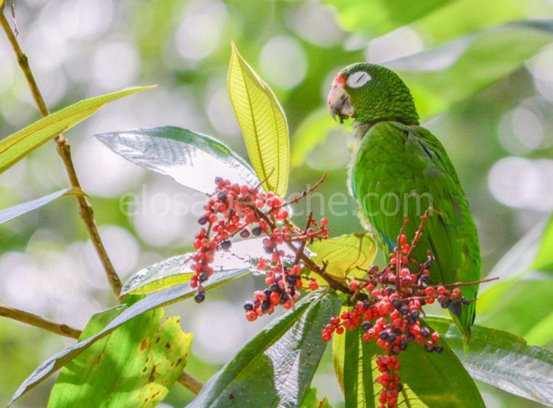 Questi pappagalli hanno sviluppato nuovi modi di comunicare in cattività. Possono i loro simili selvaggi capirli?
