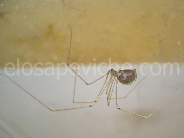 Non dovresti uccidere i ragni domestici. L'entomologo spiega il perchè…