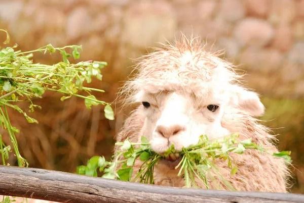 Alpaca en Awanakancha en Perú
