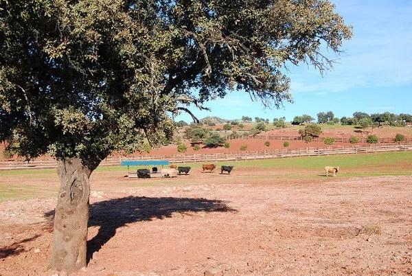 Cercado de toros bravos de lidia en la Dehesa La Marquesa
