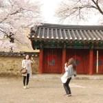 Coreanas haciéndose una foto bajo los cerezos en flor en Gyeongju