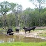 Fotos Cheetah Plains en el Kruger de Sudafrica, bufalos