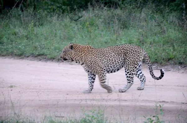 Fotos Cheetah Plains en el Kruger de Sudafrica, leopardo