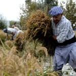 Fotos Delta del Ebro. Siega del arroz