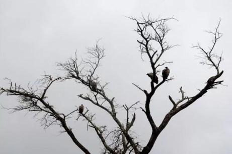 Fotos Parque Kruger Sudáfrica, buitres
