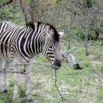 Fotos Parque Kruger Sudáfrica, cebra
