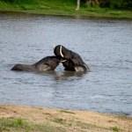 Fotos Parque Kruger Sudáfrica, elefantes chapoteando