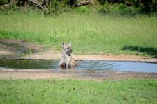 Fotos Parque Kruger Sudáfrica, hiena