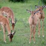 Fotos Parque Kruger Sudáfrica, impalas