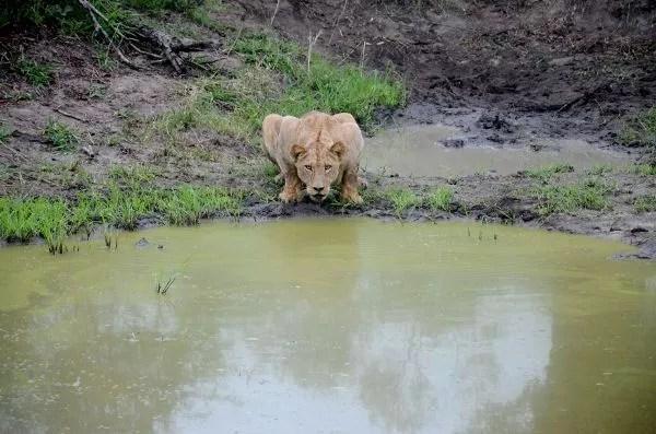 Fotos Parque Kruger Sudáfrica, leona bebiendo