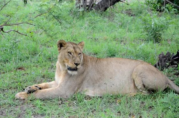 Fotos Parque Kruger Sudáfrica, leona mirando