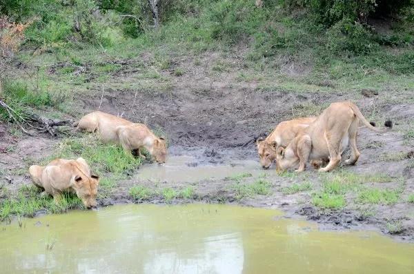 Fotos Parque Kruger Sudáfrica, leonas bebiendo