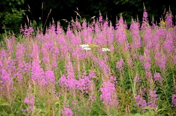 Fotos Selva Negra, flores en Feldberg